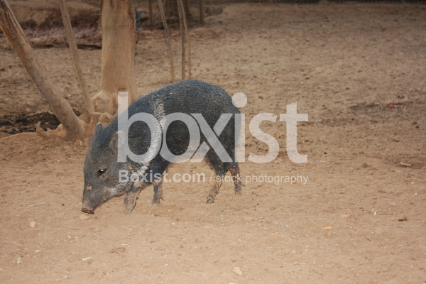 Walking Collared Peccary