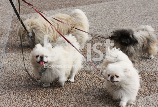 Walking Pekingese Dogs