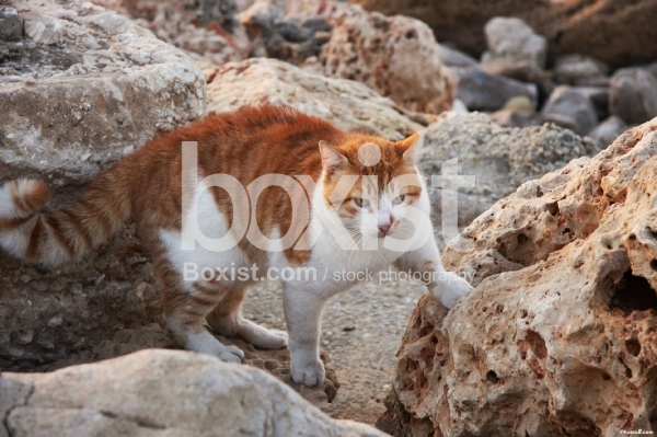 Orange Cat Walking on Rocks